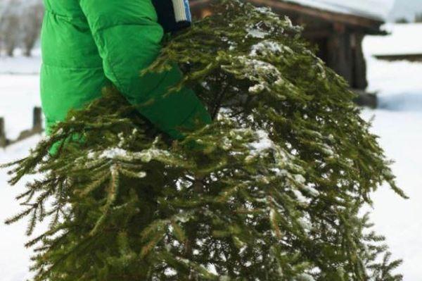 С 1 января в Киеве заработают пункты сбора и утилизации ёлок: адреса