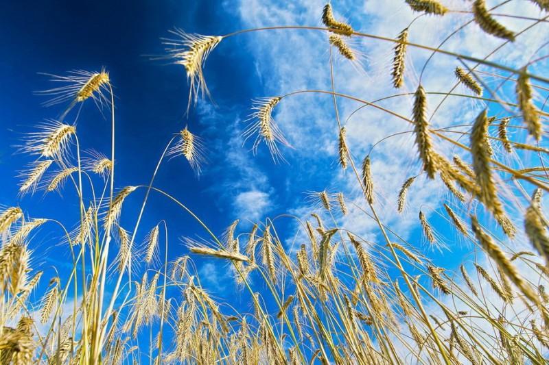 Основные виды посевной пшеницы