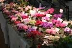 В Киеве пройдет весенняя выставка фиалок