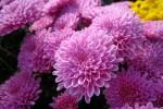На Певческом поле откроется выставка хризантем