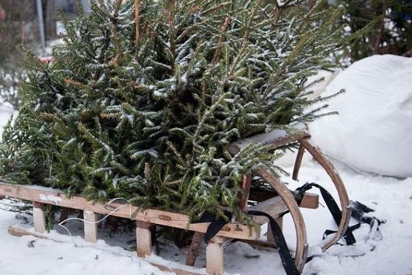 14,5 тысяч: киевляне сдали на утилизацию рекордное количество елок