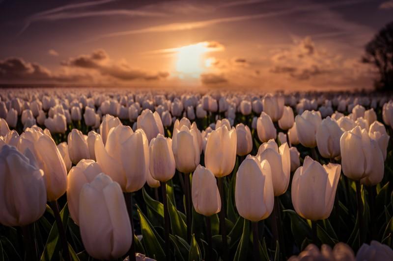 На Певческом поле пройдет выставка тюльпанов