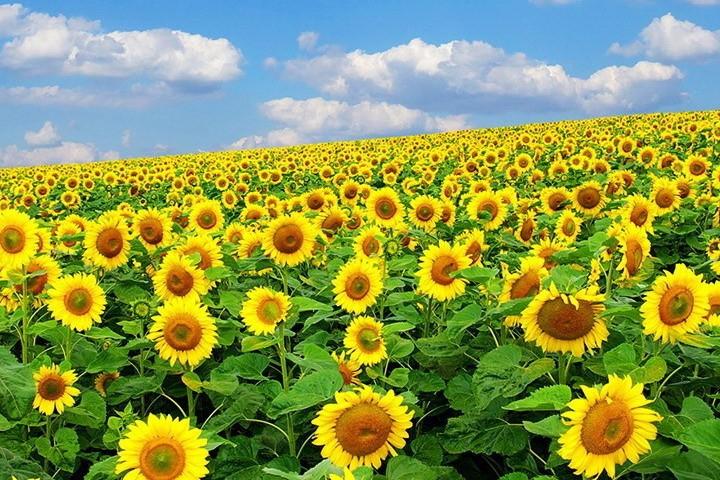 Борьба с сорными растениями при посеве подсолнечника: эффективные методы
